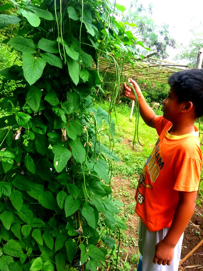 Roel happily harvesting string beans